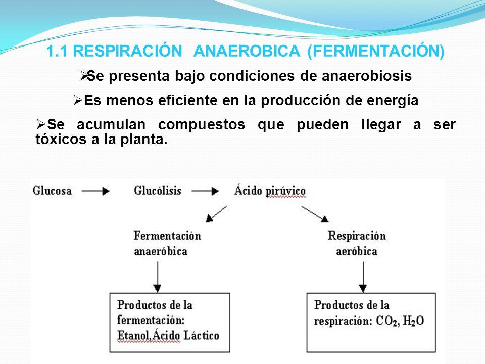 1.1 RESPIRACIÓN ANAEROBICA (FERMENTACIÓN) Se presenta bajo condiciones de anaerobiosis Es menos eficiente en la producción de energía Se acumulan comp