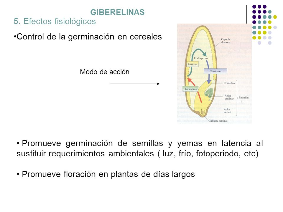 GIBERELINAS 5. Efectos fisiológicos Control de la germinación en cereales Promueve germinación de semillas y yemas en latencia al sustituir requerimie