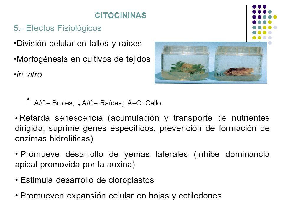 CITOCININAS 5.- Efectos Fisiológicos División celular en tallos y raíces Morfogénesis en cultivos de tejidos in vitro A/C= Brotes; A/C= Raíces; A=C: C