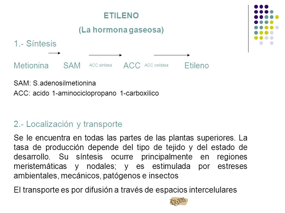 ETILENO (La hormona gaseosa) 1.- Síntesis Metionina SAM ACC sintasa ACC ACC oxidasa Etileno SAM: S.adenosilmetionina ACC: acido 1-aminociclopropano 1-