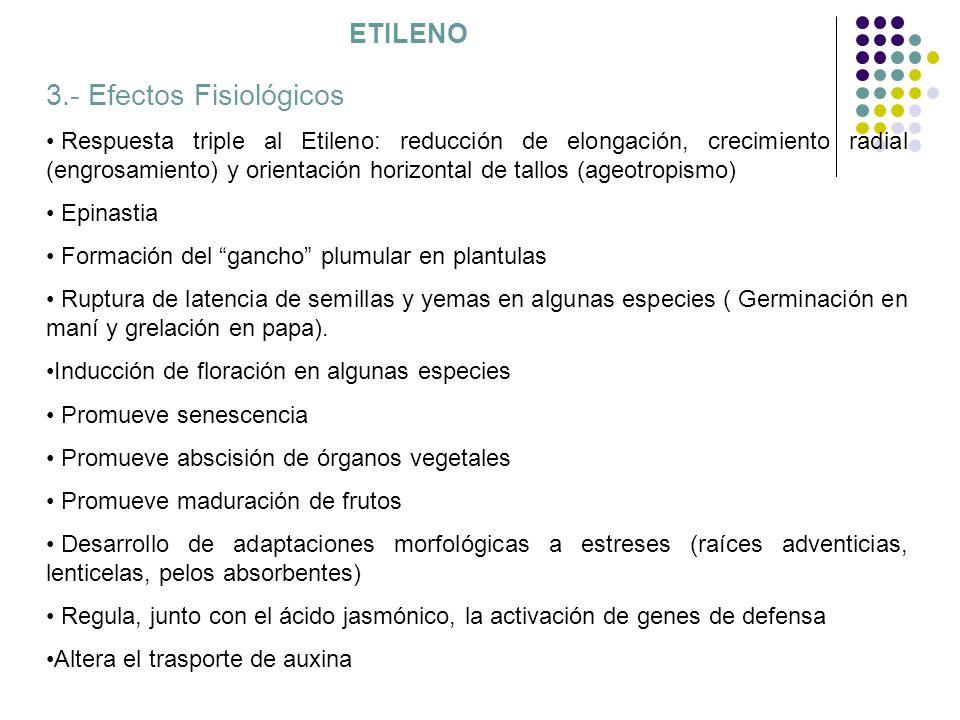 ETILENO 3.- Efectos Fisiológicos Respuesta triple al Etileno: reducción de elongación, crecimiento radial (engrosamiento) y orientación horizontal de