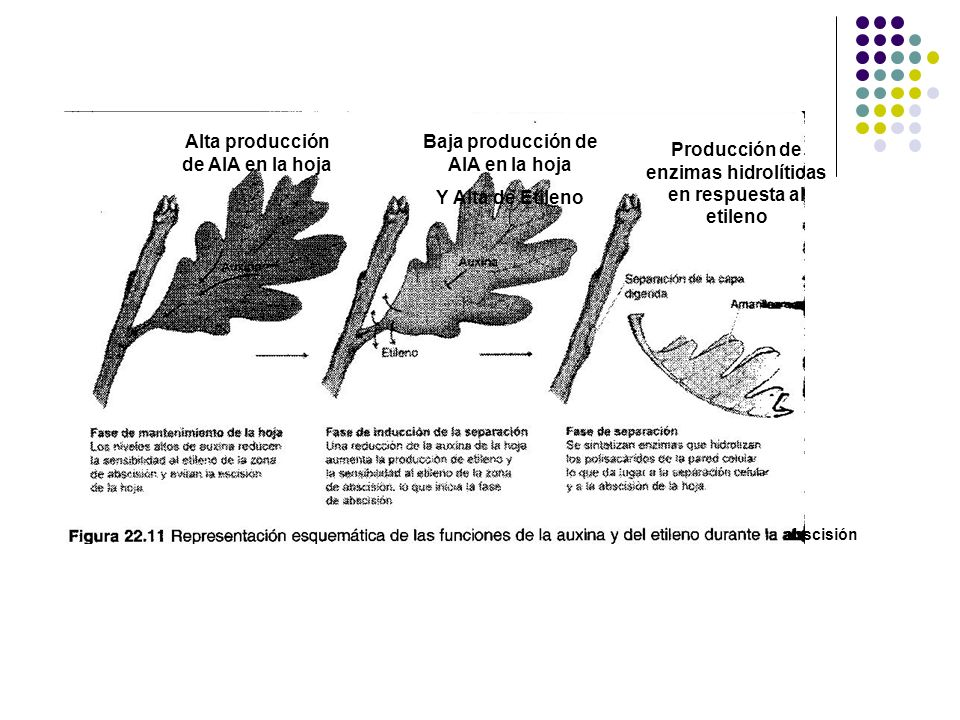 Alta producción de AIA en la hoja Baja producción de AIA en la hoja Y Alta de Etileno Producción de enzimas hidrolíticas en respuesta al etileno absci