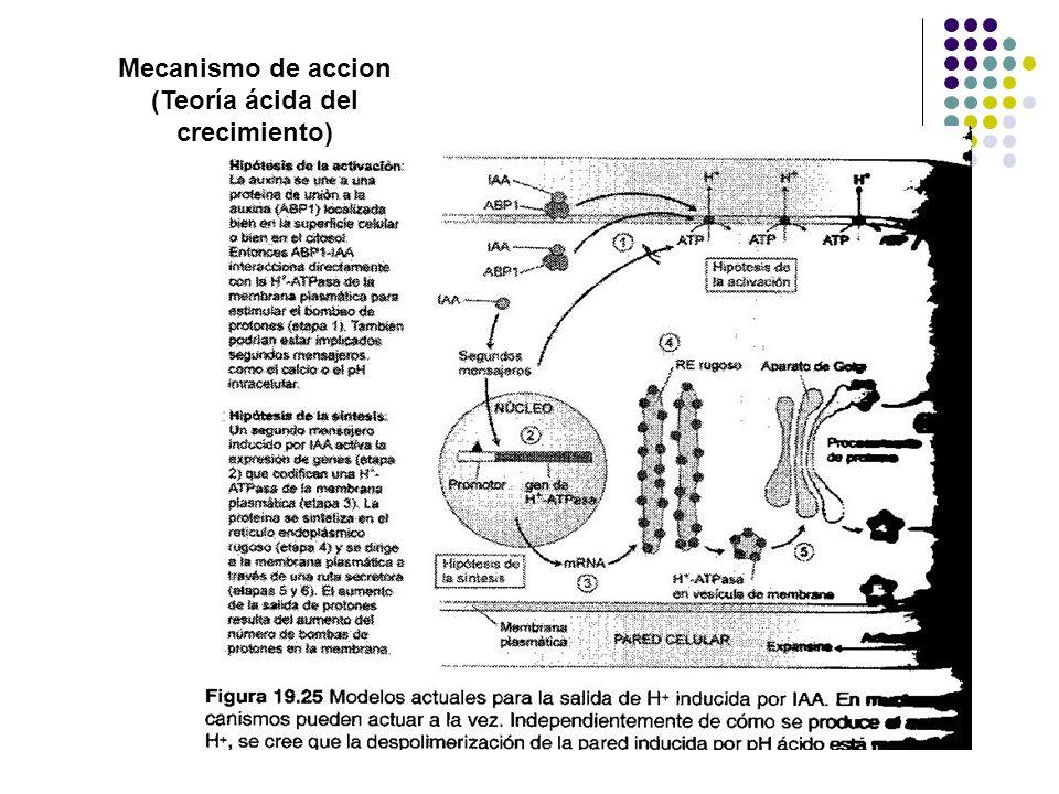 Mecanismo de accion (Teoría ácida del crecimiento)
