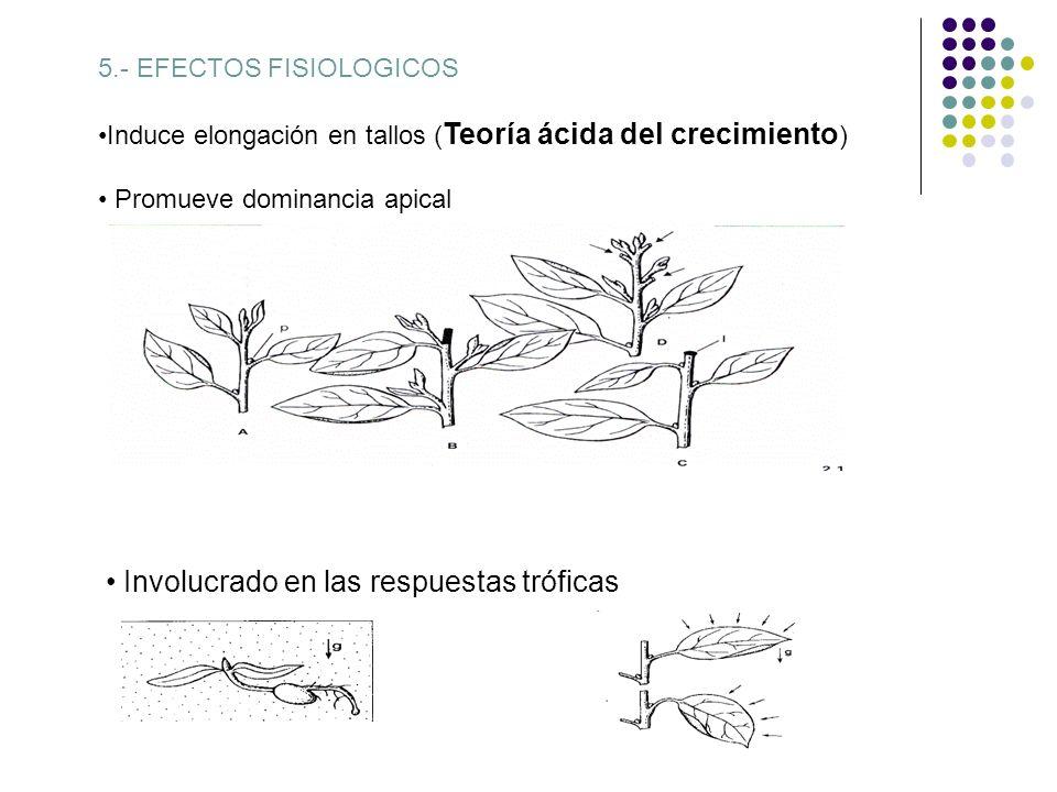 5.- EFECTOS FISIOLOGICOS Induce elongación en tallos ( Teoría ácida del crecimiento ) Promueve dominancia apical Involucrado en las respuestas trófica