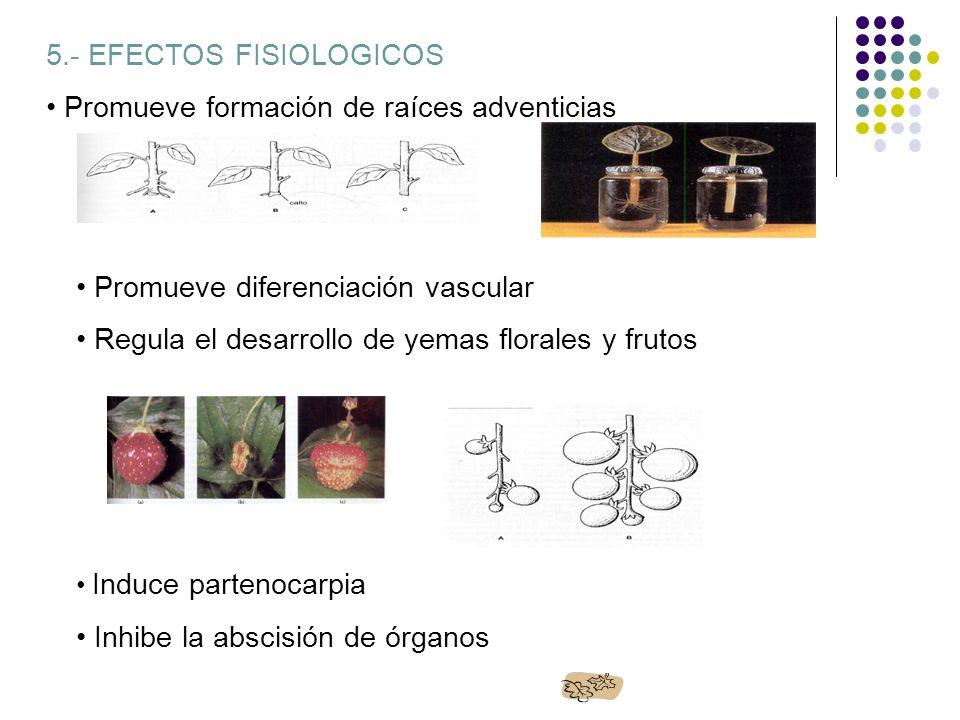 5.- EFECTOS FISIOLOGICOS Promueve formación de raíces adventicias Promueve diferenciación vascular Regula el desarrollo de yemas florales y frutos Ind