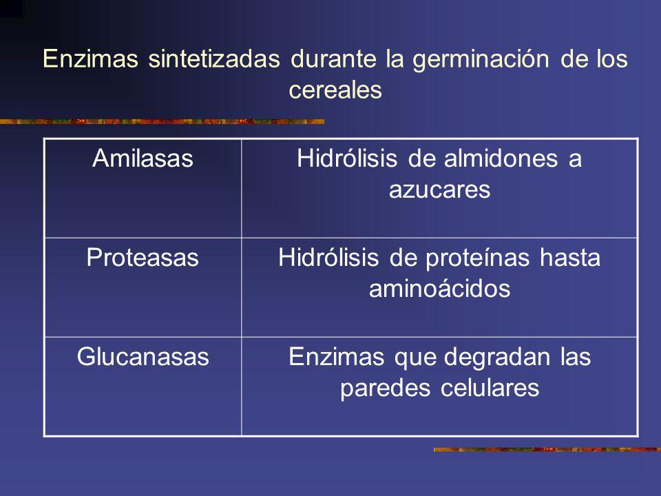 Enzimas sintetizadas durante la germinación de los cereales AmilasasHidrólisis de almidones a azucares ProteasasHidrólisis de proteínas hasta aminoáci