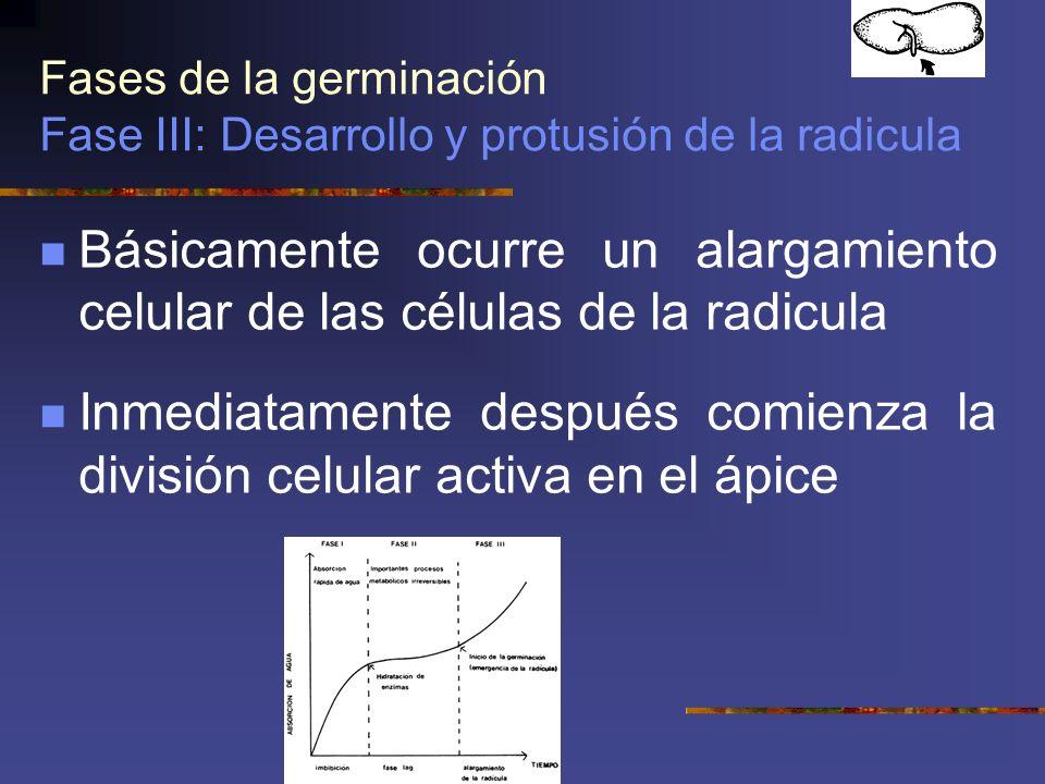 Fases de la germinación Fase III: Desarrollo y protusión de la radicula Básicamente ocurre un alargamiento celular de las células de la radicula Inmed