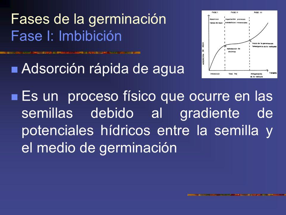 Fases de la germinación Fase I: Imbibición Adsorción rápida de agua Es un proceso físico que ocurre en las semillas debido al gradiente de potenciales