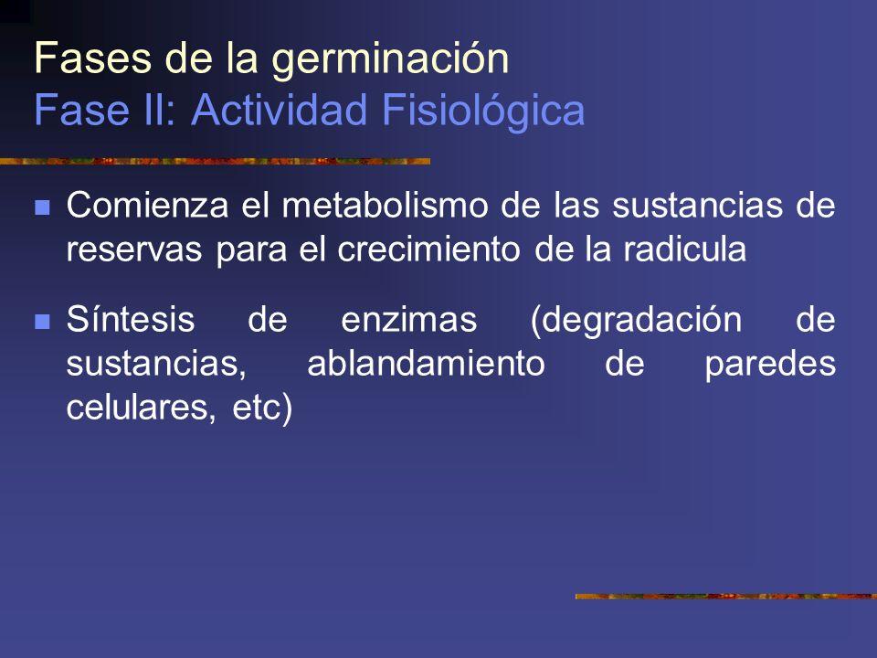 Fases de la germinación Fase II: Actividad Fisiológica Comienza el metabolismo de las sustancias de reservas para el crecimiento de la radicula Síntes
