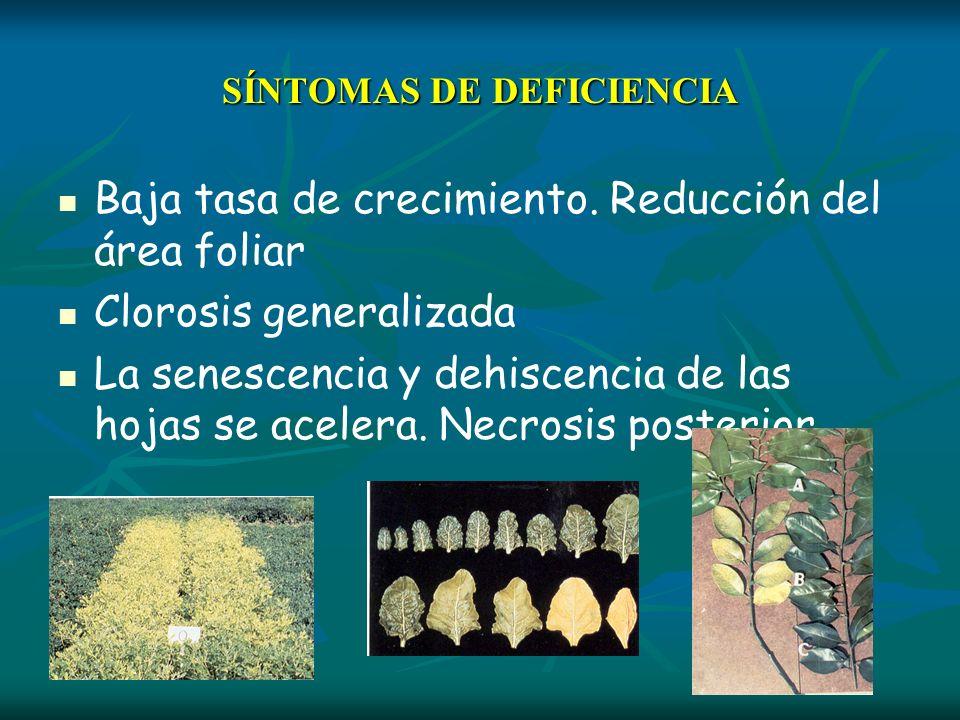 SÍNTOMAS DE DEFICIENCIA Baja tasa de crecimiento. Reducción del área foliar Clorosis generalizada La senescencia y dehiscencia de las hojas se acelera