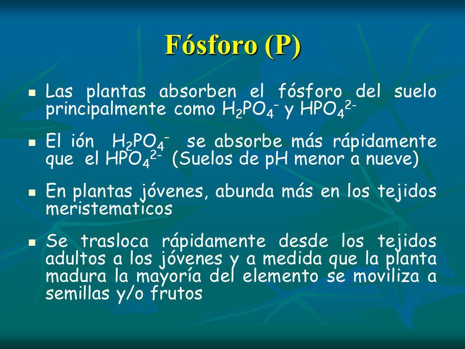 Fósforo (P) Las plantas absorben el fósforo del suelo principalmente como H 2 PO 4 – y HPO 4 2- El ión H 2 PO 4 – se absorbe más rápidamente que el HP