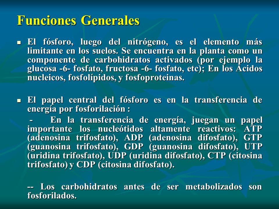 Funciones Generales El fósforo, luego del nitrógeno, es el elemento más limitante en los suelos. Se encuentra en la planta como un componente de carbo