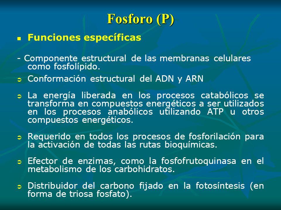 Fosforo (P) Funciones específicas - Componente estructural de las membranas celulares como fosfolípido. Conformación estructural del ADN y ARN La ener