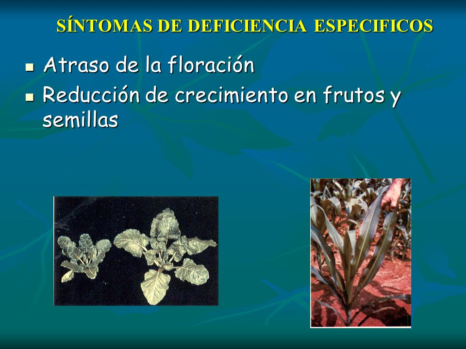 SÍNTOMAS DE DEFICIENCIA ESPECIFICOS Atraso de la floración Atraso de la floración Reducción de crecimiento en frutos y semillas Reducción de crecimien