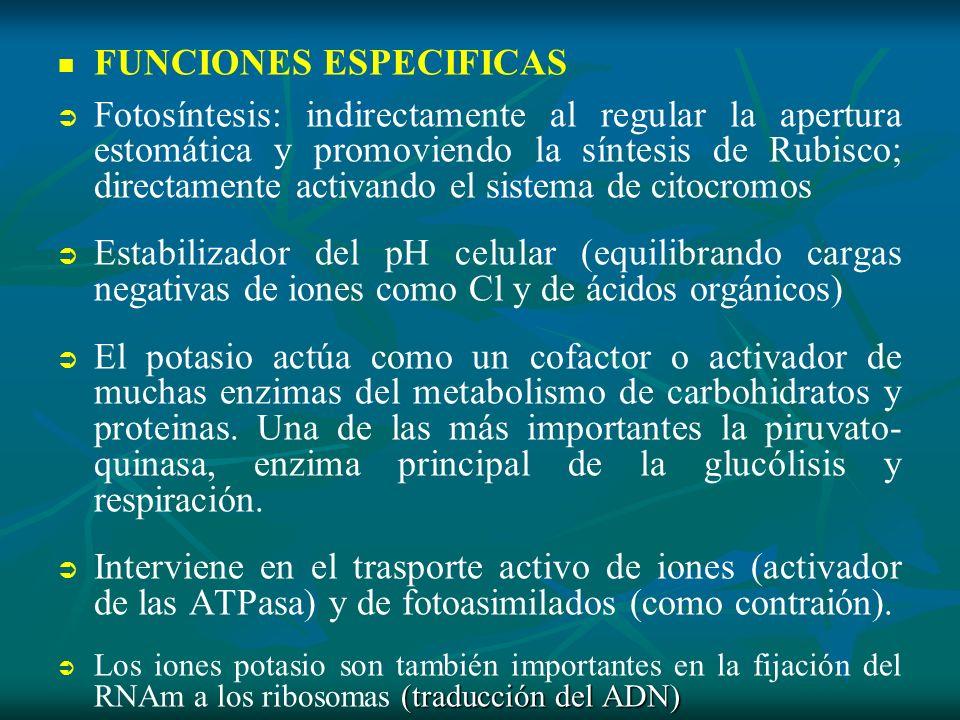 FUNCIONES ESPECIFICAS Fotosíntesis: indirectamente al regular la apertura estomática y promoviendo la síntesis de Rubisco; directamente activando el s