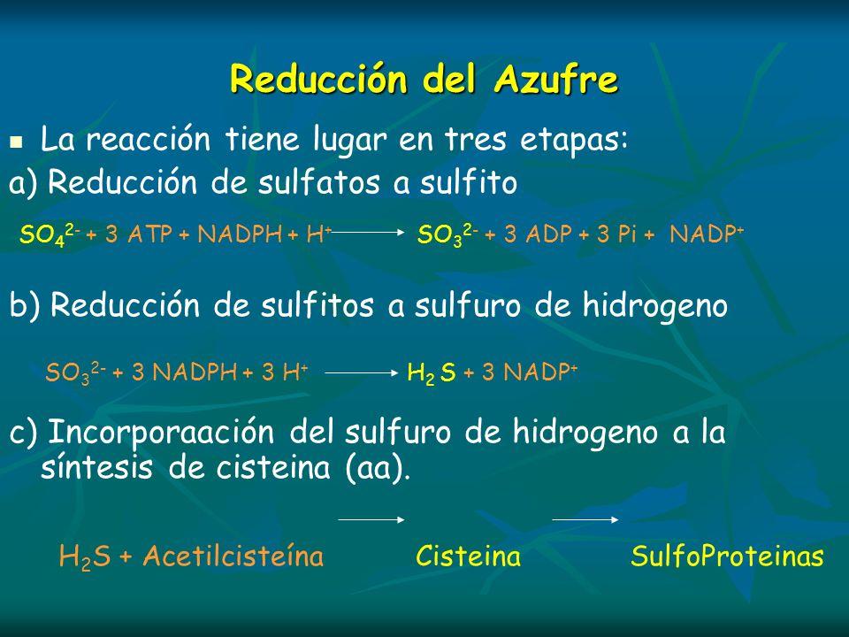 Reducción del Azufre La reacción tiene lugar en tres etapas: a) Reducción de sulfatos a sulfito SO 4 2- + 3 ATP + NADPH + H + SO 3 2- + 3 ADP + 3 Pi +