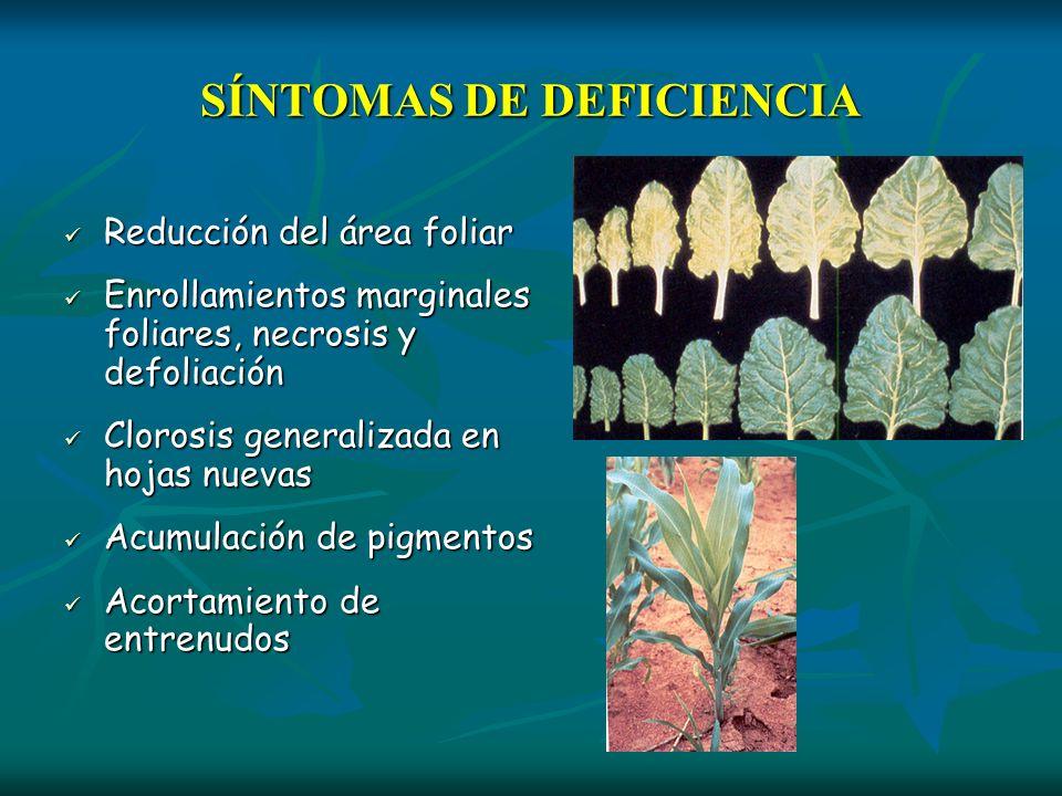 SÍNTOMAS DE DEFICIENCIA Reducción del área foliar Reducción del área foliar Enrollamientos marginales foliares, necrosis y defoliación Enrollamientos