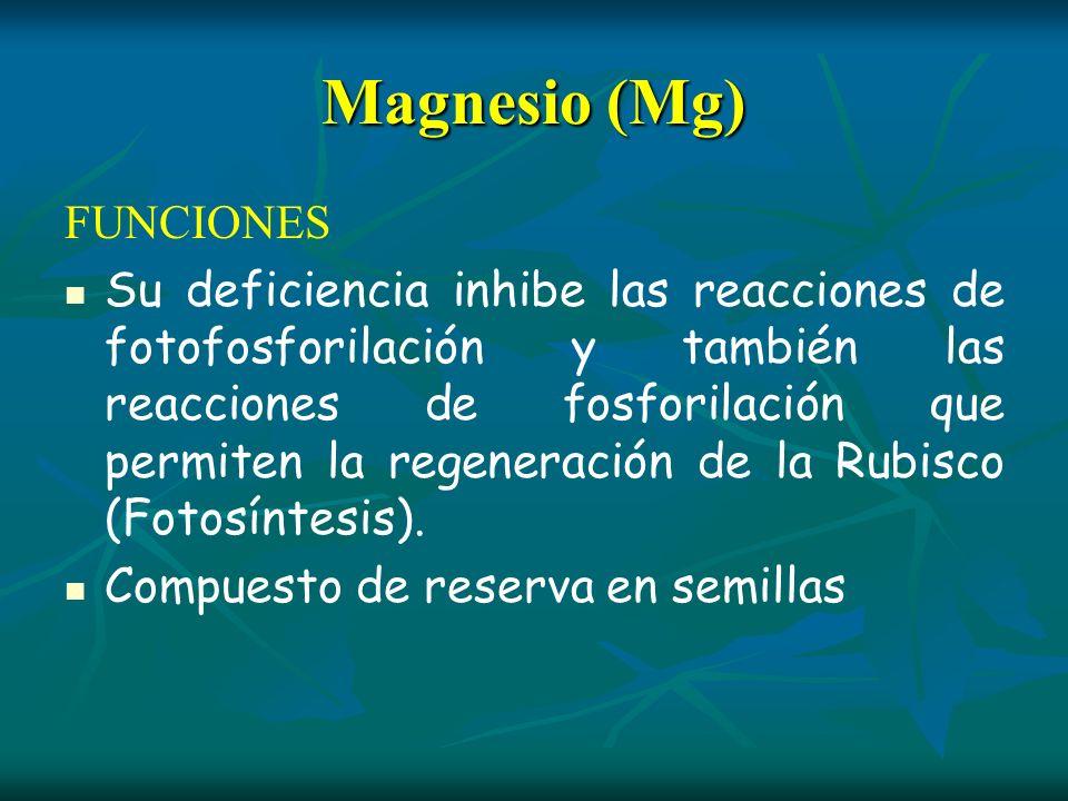 Magnesio (Mg) FUNCIONES Su deficiencia inhibe las reacciones de fotofosforilación y también las reacciones de fosforilación que permiten la regeneraci