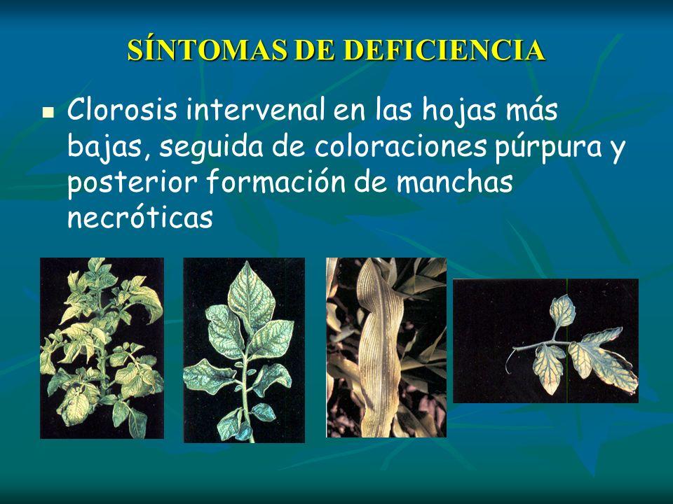 SÍNTOMAS DE DEFICIENCIA Clorosis intervenal en las hojas más bajas, seguida de coloraciones púrpura y posterior formación de manchas necróticas