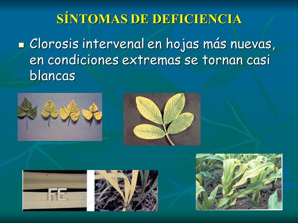 SÍNTOMAS DE DEFICIENCIA Clorosis intervenal en hojas más nuevas, en condiciones extremas se tornan casi blancas Clorosis intervenal en hojas más nueva