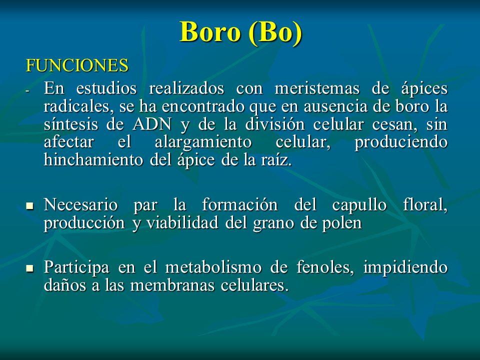 Boro (Bo) FUNCIONES - En estudios realizados con meristemas de ápices radicales, se ha encontrado que en ausencia de boro la síntesis de ADN y de la d