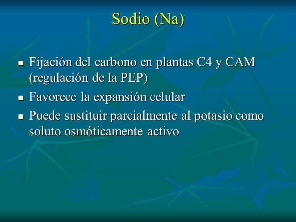 Sodio (Na) Fijación del carbono en plantas C4 y CAM (regulación de la PEP) Fijación del carbono en plantas C4 y CAM (regulación de la PEP) Favorece la