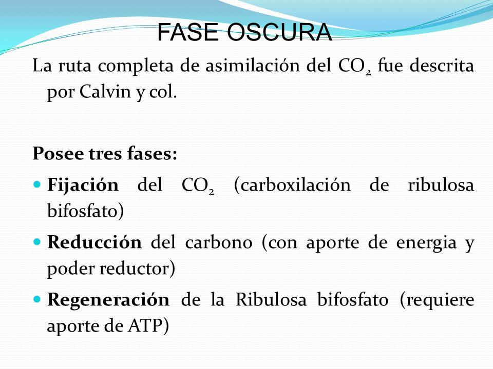 La ruta completa de asimilación del CO 2 fue descrita por Calvin y col. Posee tres fases: Fijación del CO 2 (carboxilación de ribulosa bifosfato) Redu