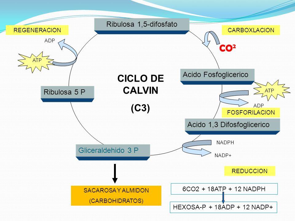 Gliceraldehido 3 P Ribulosa 5 P Acido 1,3 Difosfoglicerico Acido Fosfoglicerico Ribulosa 1,5-difosfato NADPH NADP+ REDUCCION SACAROSA Y ALMIDON (CARBOHIDRATOS) ATP ADP REGENERACION ATP ADP FOSFORILACION CARBOXLACION CO 2 CICLO DE CALVIN (C3) 6CO2 + 18ATP + 12 NADPH HEXOSA-P + 18ADP + 12 NADP+