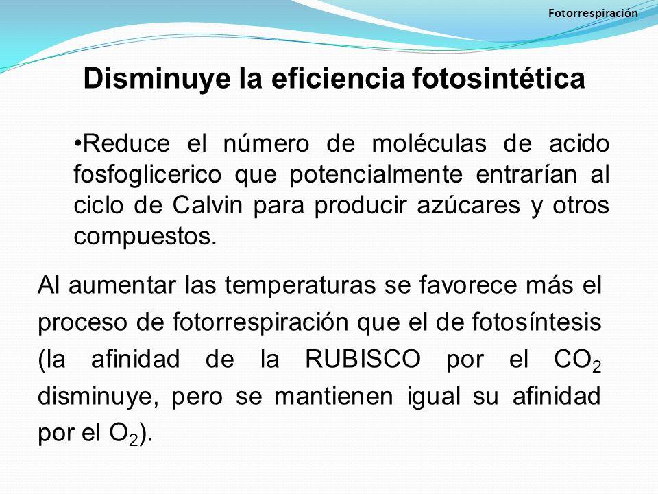 Disminuye la eficiencia fotosintética Fotorrespiración Reduce el número de moléculas de acido fosfoglicerico que potencialmente entrarían al ciclo de Calvin para producir azúcares y otros compuestos.