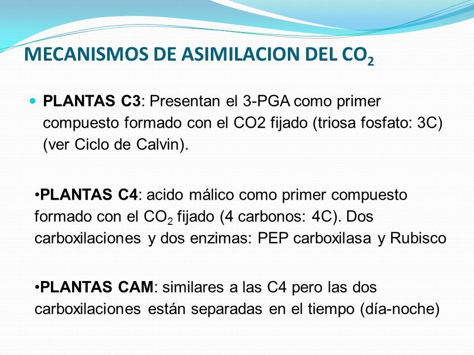 MECANISMOS DE ASIMILACION DEL CO 2 PLANTAS C3: Presentan el 3-PGA como primer compuesto formado con el CO2 fijado (triosa fosfato: 3C) (ver Ciclo de Calvin).
