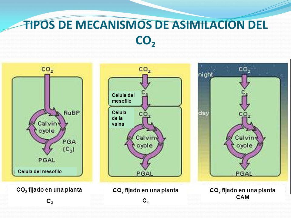 TIPOS DE MECANISMOS DE ASIMILACION DEL CO 2 CO 2 fijado en una planta C 3 CO 2 fijado en una planta CAM CO 2 fijado en una planta C 4 Celula del mesofilo Célula de la vaina