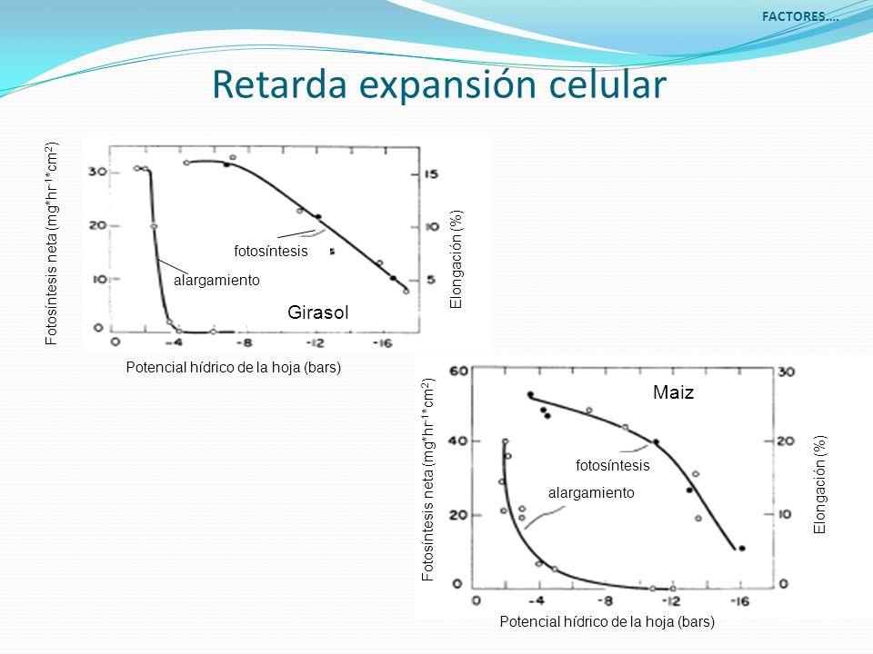 Retarda expansión celular Potencial hídrico de la hoja (bars) Elongación (%) Fotosíntesis neta (mg*hr -1 *cm 2 ) Elongación (%) Potencial hídrico de l