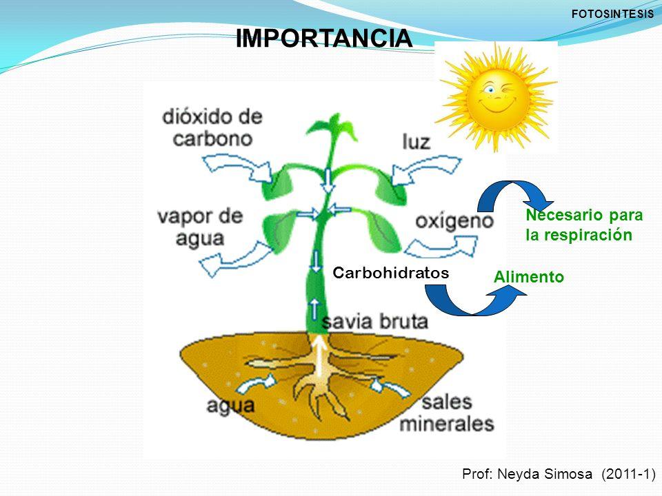 IMPORTANCIA Carbohidratos Necesario para la respiración Alimento FOTOSINTESIS Prof: Neyda Simosa (2011-1)