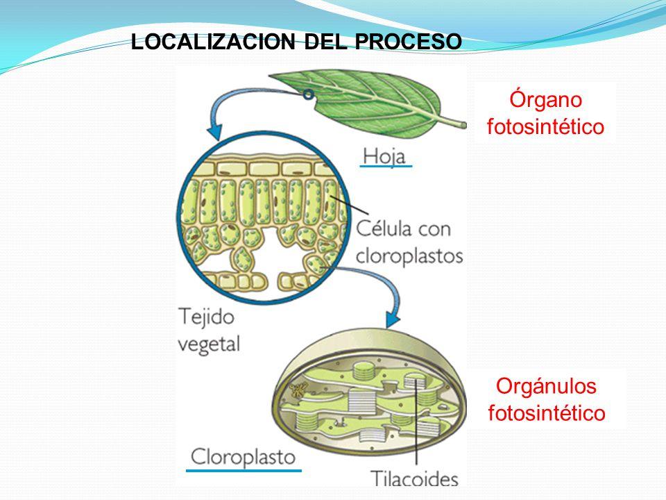 LOCALIZACION DEL PROCESO Órgano fotosintético Orgánulos fotosintético