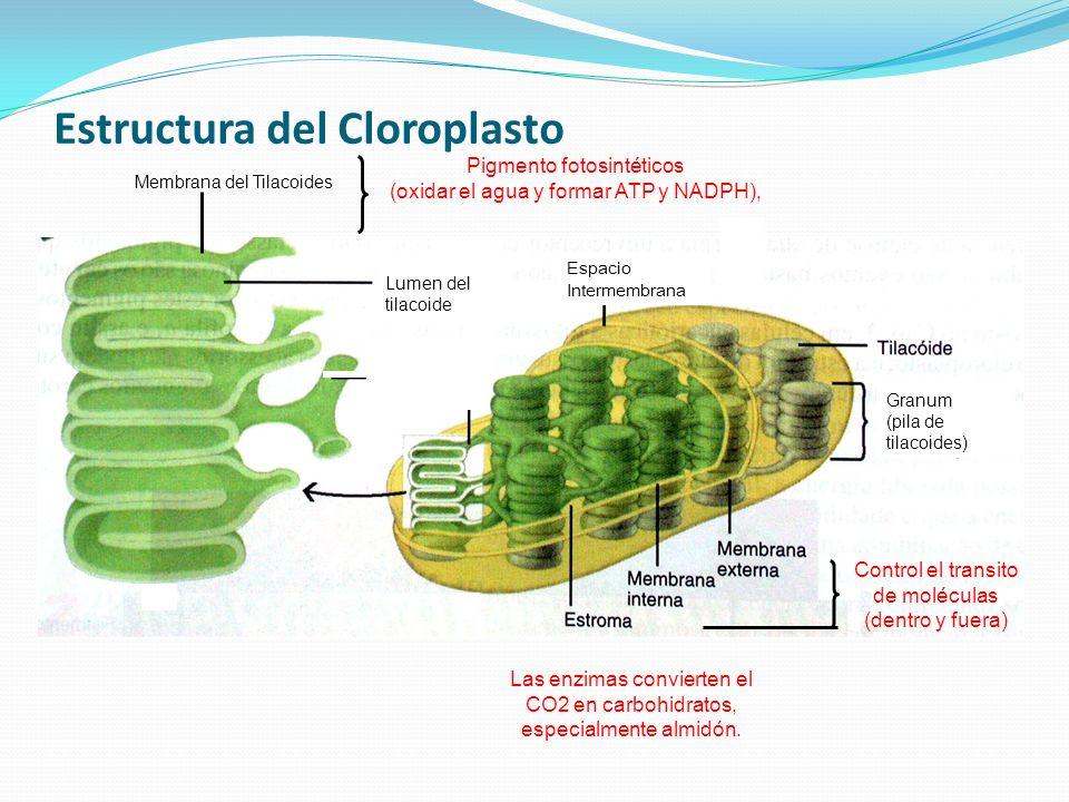 Estructura del Cloroplasto Espacio Intermembrana Granum (pila de tilacoides) Membrana del Tilacoides Lumen del tilacoide Control el transito de molécu