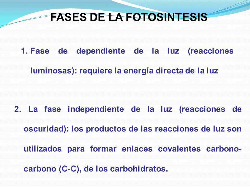 FASES DE LA FOTOSINTESIS 2. La fase independiente de la luz (reacciones de oscuridad): los productos de las reacciones de luz son utilizados para form