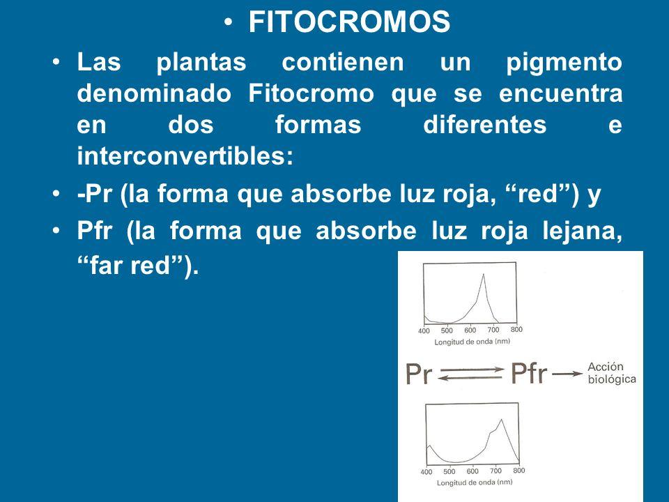 FITOCROMOS Las plantas contienen un pigmento denominado Fitocromo que se encuentra en dos formas diferentes e interconvertibles: -Pr (la forma que abs