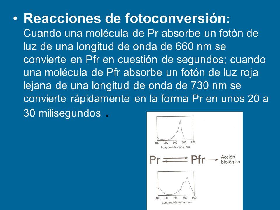 Reacciones de fotoconversión : Cuando una molécula de Pr absorbe un fotón de luz de una longitud de onda de 660 nm se convierte en Pfr en cuestión de