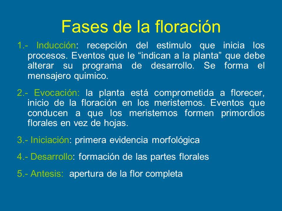 Fases de la floración 1.- Inducción: recepción del estimulo que inicia los procesos. Eventos que le indican a la planta que debe alterar su programa d