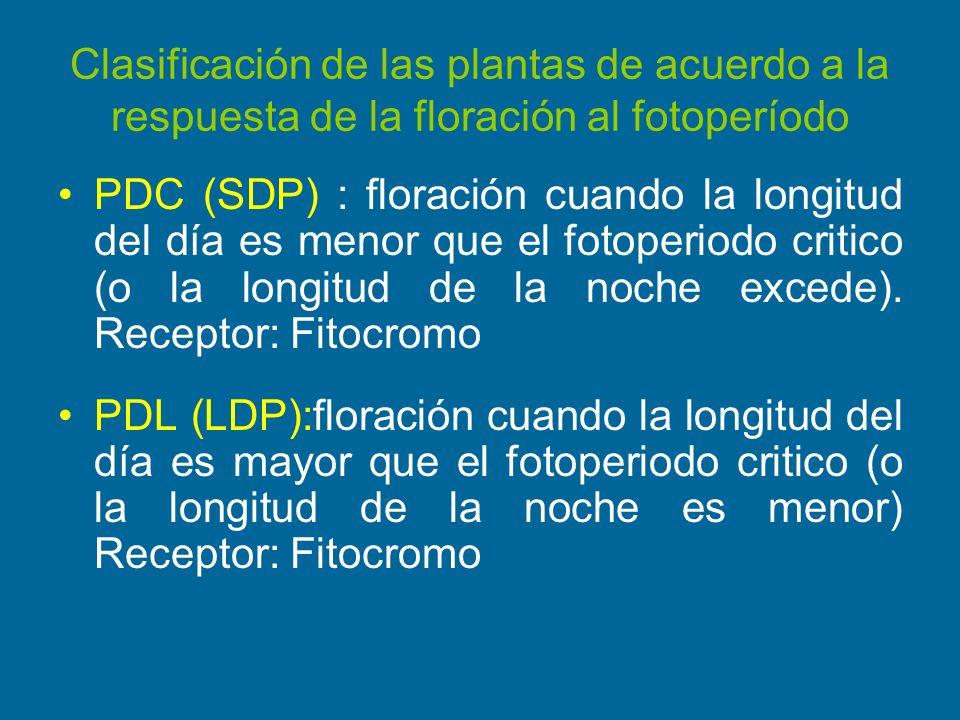 Clasificación de las plantas de acuerdo a la respuesta de la floración al fotoperíodo PDC (SDP) : floración cuando la longitud del día es menor que el