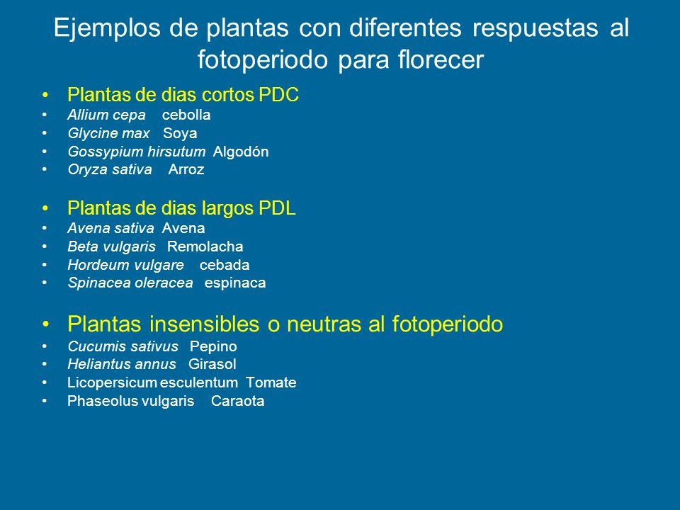 Ejemplos de plantas con diferentes respuestas al fotoperiodo para florecer Plantas de dias cortos PDC Allium cepa cebolla Glycine max Soya Gossypium h