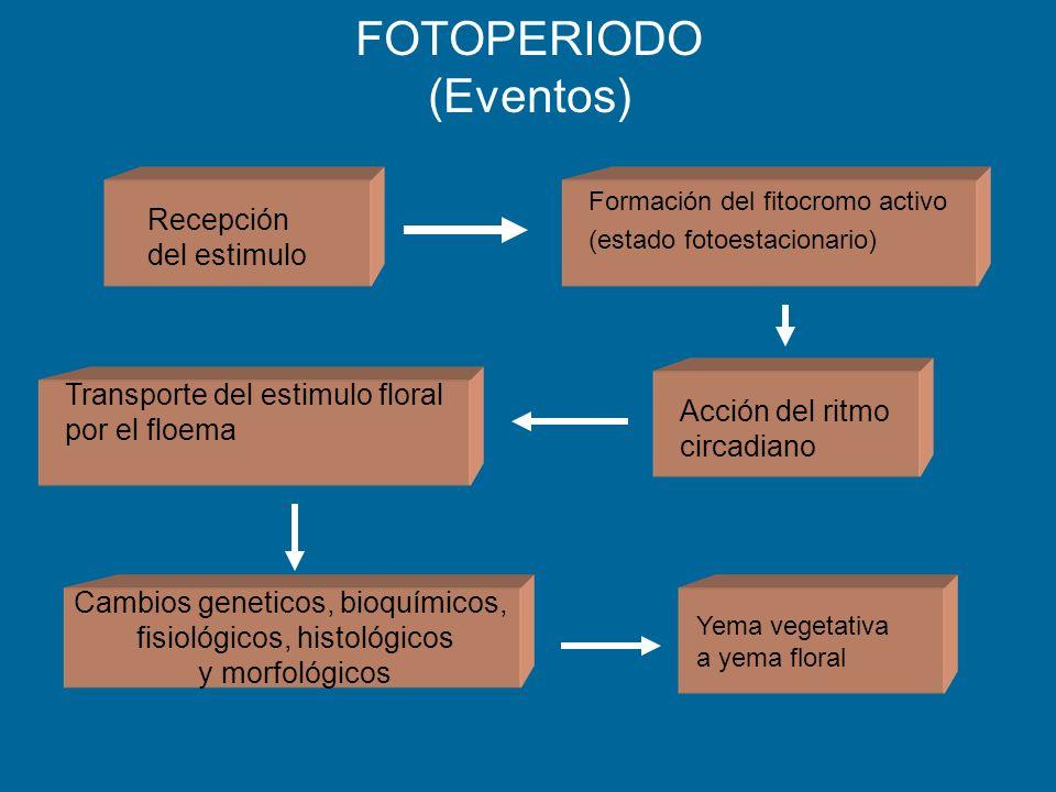 FOTOPERIODO (Eventos) Recepción del estimulo Formación del fitocromo activo (estado fotoestacionario) Acción del ritmo circadiano Transporte del estim