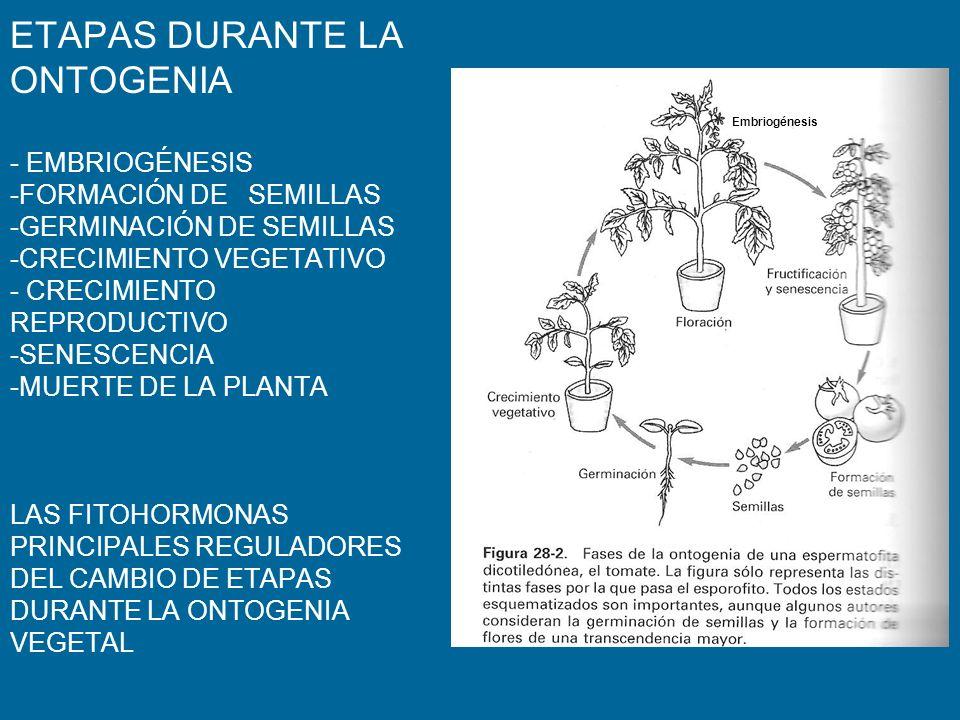 ETAPAS DURANTE LA ONTOGENIA - EMBRIOGÉNESIS -FORMACIÓN DE SEMILLAS -GERMINACIÓN DE SEMILLAS -CRECIMIENTO VEGETATIVO - CRECIMIENTO REPRODUCTIVO -SENESC