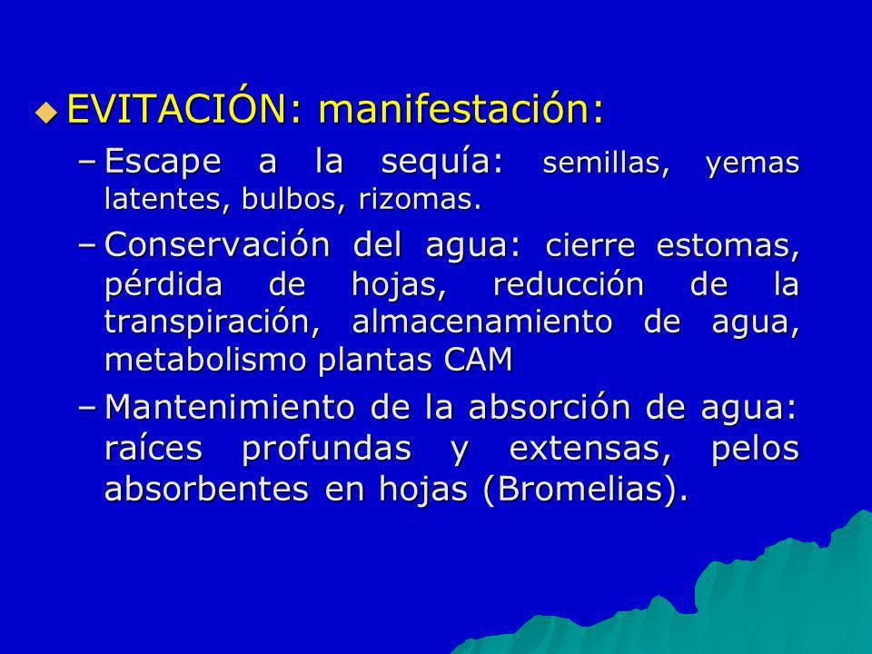 EVITACIÓN: manifestación: EVITACIÓN: manifestación: –Escape a la sequía: semillas, yemas latentes, bulbos, rizomas. –Conservación del agua: cierre est