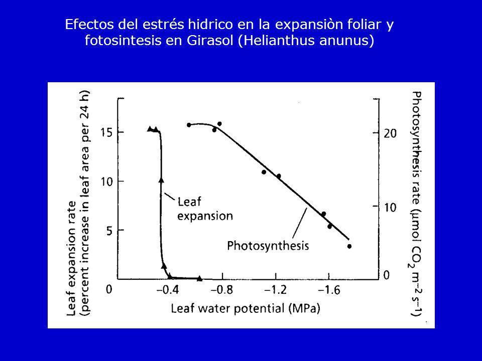 Efectos del estrés hidrico en la expansiòn foliar y fotosintesis en Girasol (Helianthus anunus)