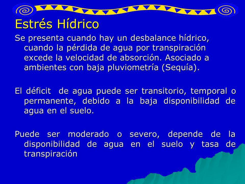 Estrés Hídrico Se presenta cuando hay un desbalance hídrico, cuando la pérdida de agua por transpiración excede la velocidad de absorción. Asociado a