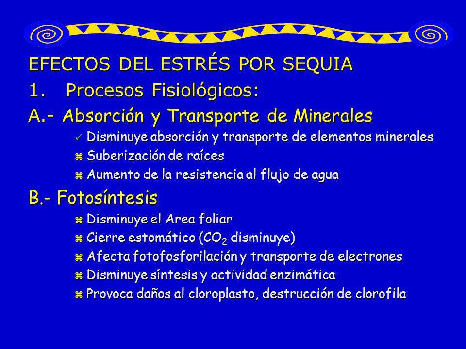 EFECTOS DEL ESTRÉS POR SEQUIA 1. Procesos Fisiológicos: A.- Absorción y Transporte de Minerales Disminuye absorción y transporte de elementos minerale