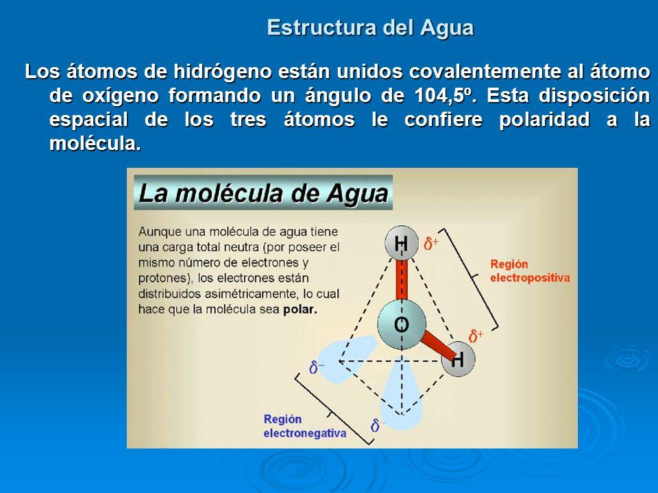 Estructura del Agua Los átomos de hidrógeno están unidos covalentemente al átomo de oxígeno formando un ángulo de 104,5º. Esta disposición espacial de