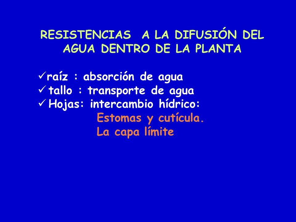 RESISTENCIAS A LA DIFUSIÓN DEL AGUA DENTRO DE LA PLANTA raíz : absorción de agua tallo : transporte de agua Hojas: intercambio hídrico: Estomas y cutí