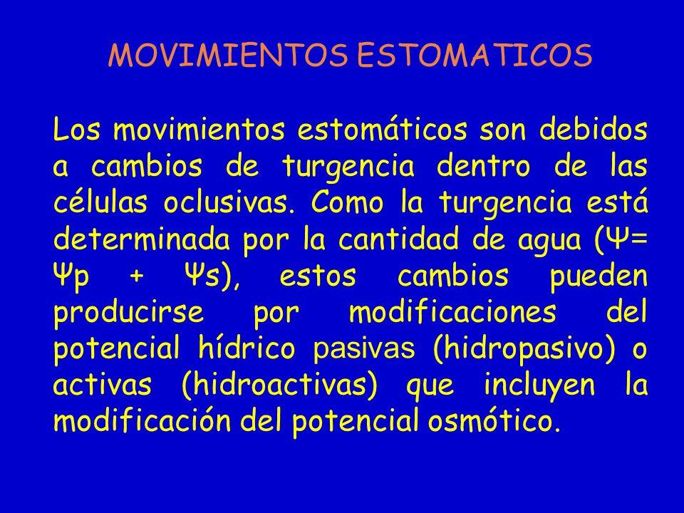 MOVIMIENTOS ESTOMATICOS Los movimientos estomáticos son debidos a cambios de turgencia dentro de las células oclusivas. Como la turgencia está determi